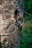 Austen's Brown Hornbill (Anorrhinus austeni) at the nest entrance holding fruit in bill.  Khao Yai National Park, Thailand