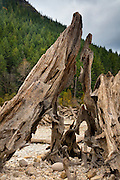 A prolonged drought lowered the water level of Rattlesnake Lake near North Bend, Washington, exposing tree stumps that had been submerged for 100 years.