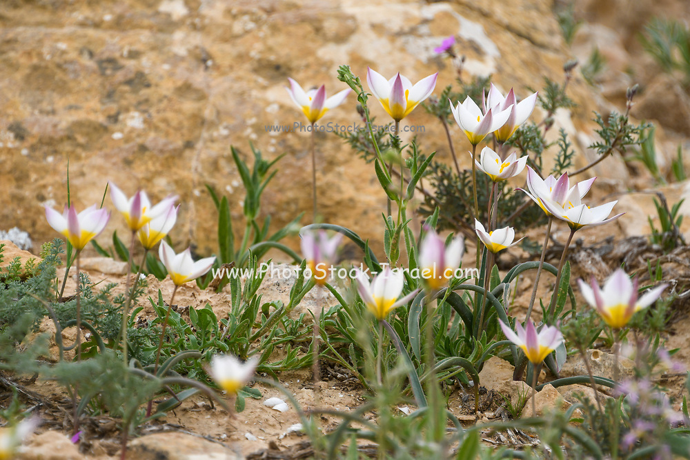 The polychrome tulip (Tulipa polychroma Stapf) is of flowering plant in the tulip genus Tulipa (biflores group sensu Hall), family Liliaceae. It is sometimes classified as a subspecies of Tulipa biflora.  Photographed at the Lotz Cisterns in The Negev Desert Israel in March