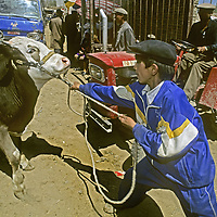 A Uygar youngster stuggles with a cow at the Sunday cattle bazaar in Kashgar (Kashi), a town on the ancient Silk Road in Xinjiang, China.