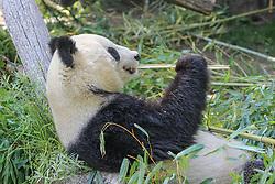 THEMENBILD - Der Große Panda, auch Riesenpanda oder Pandabär, ist eine Säugetierart aus der Familie der Bären, aufgenommen am 19.05.2019 im Tiergarten Schönbrunn in Wien, Österreich // The giant panda, also giant panda or panda bear, is a mammal species of the bear family, pictured on 2019/05/19 at the Tiergarten Schönbrunn at Vienna, Austria. EXPA Pictures © 2019, PhotoCredit: EXPA/ Lukas Huter