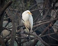 Intermediate Egret. Bharatpur-- Keoladeo Ghana National Park, Rajasthan, India. Image taken with a Nikon 1 V3 camera and 70-300 mm VR lens.
