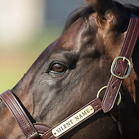 SILENT NAME - Thoroughbred Stallion