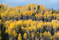 Fall leaves reflect the season's brilliance in a grove of aspen trees Tuesday south of Victor, Idaho. While autumn colors may have peaked in Jackson Hole, colors are peaking over the hill in Teton Valley.