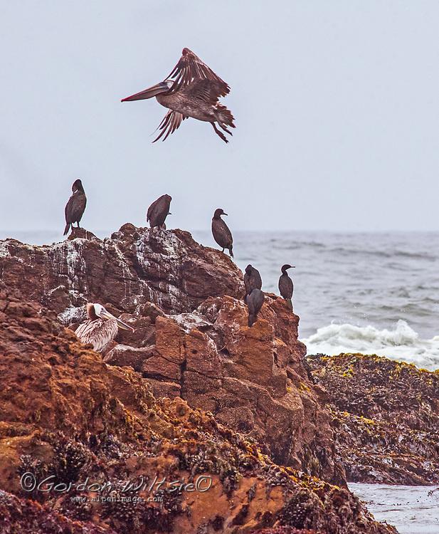 A brown pelican flies over cormorants perching on a rock in the Pacific Ocean near Pescadero, California.