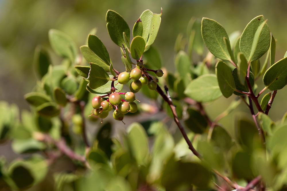 Manzanita with berries, Southern Utah.