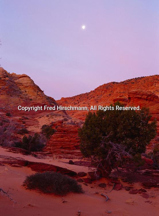Moon setting over slickrock sandstone and juniper in the moody light of dawn,  Vermilion Cliffs National Monument, Paria-Vermilion Cliffs Wilderness, Arizona.