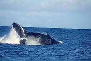 Humpback Whale, Megaptera novaeangliae, Raw Power, Maui Hawaii