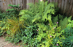 Shady foliage bed with ferns, periwinkle and euphorbia