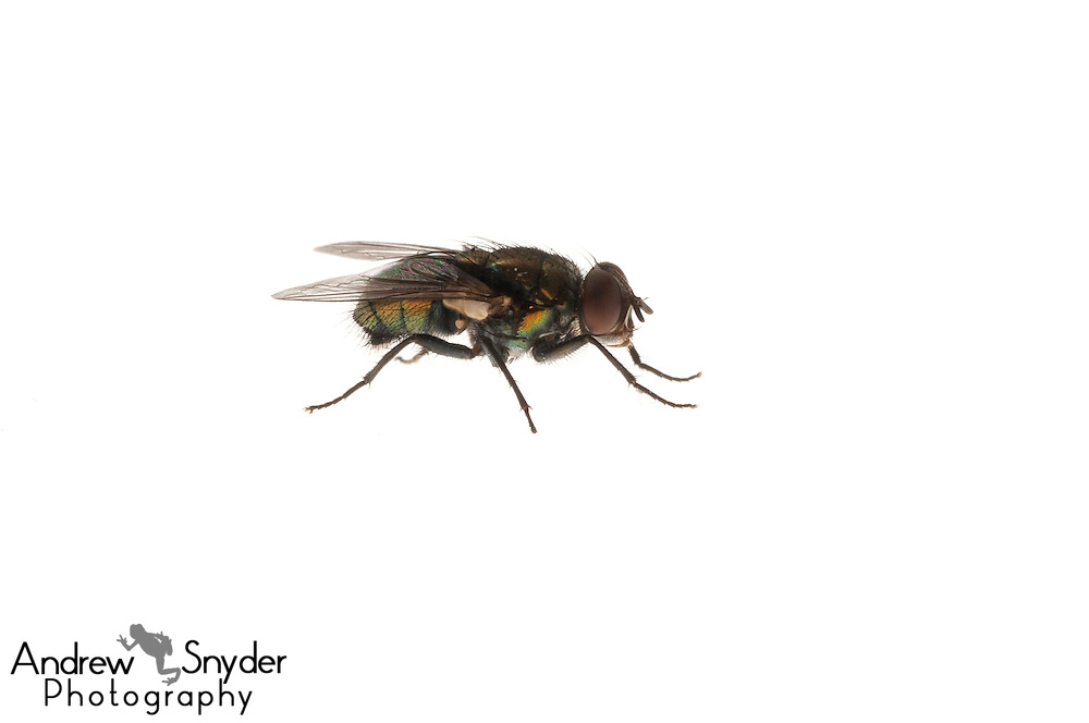 Housefly (Musca domestica) - Oxford, Mississippi.