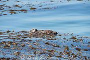 California sea otter or southern sea otter, Enhydra lutris nereis ( threatened species ), female wrapped in kelp to hold her in place while sleeping, Morro Bay, California, United States ( Eastern Pacific )