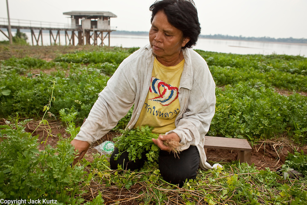 """07 APRIL 2010 - LAO NOI, NAKHON PHANOM, THAILAND: PRIK, harvests celery and dill from her garden near the Mekong River, which is behind her. She said her yield this year will be a fraction of what was last year. She grows vegetables and her husband fishes. Normally the river flows completely through the river bed but it's currently running through a channel in the bottom of the river bed. According to people who live here, the river is at its lowest point in nearly 50 years. Prik said she doesn't know why the river is so low """"Some say China has built dams that stops the water. Others say it is less rain. I don't know, I just know that when it floods it is much worse and much faster now - sometimes the river rises three meters in one day - and when it is dry, it is very, very dry."""" Many of the people who live along the river farm and fish. They claim their crops yields are greatly reduced and that many days they return from fishing with empty nets. The river is so shallow now that fisherman who used to go out in boats now work from the banks and sandbars on foot or wade into the river.     PHOTO BY JACK KURTZ"""