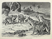 A Gathering of Striped Hyaenas (Hyaena hyaena) From the book ' Royal Natural History ' Volume 1 Section II Edited by  Richard Lydekker, Published in London by Frederick Warne & Co in 1893-1894