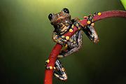 Strawberry treefrog (Hyla pantosticta)<br /> CAPTIVE<br /> ne Ecuador<br /> ECUADOR. South America