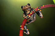 Strawberry treefrog (Hyla pantosticta)<br /> CAPTIVE<br /> ne Ecuador<br /> ECUADOR. South America