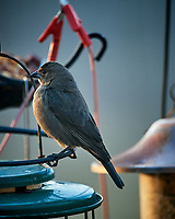 Brown-headed Cowbird. Image taken with a Nikon D5 camera and 600 mm f/4 lens (ISO 1600, 600 mm, f/4, 1/400 sec).