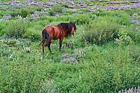 Mongolie, Province de l'Arkhangai, cheval dans les paturages // Mongolia, Arkhangai province, horse