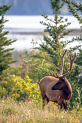 A bull elk in velvet poses at Talbot Lake in Jasper National Park
