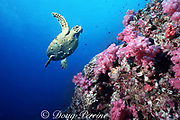 hawksbill sea turtle, Eretmochelys imbricata, and soft corals, (note barnacles on underside of turtle), Richelieu Rock, Thailand ( Indian Ocean )
