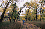 Woman walking along country road in fall, cottonwood trees, Malta, Montana<br /> MODEL RELEASED