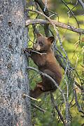 Black bear cub in early summer