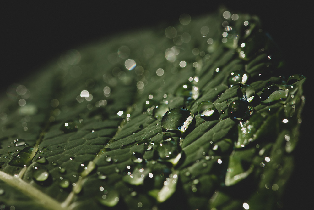 Water droplets on a hydrangea leaf shining on a summer afternoon.