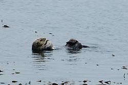 Sea otter at Moro Bay state park