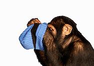 Deutschland, DEU, Krefeld, 2004: Projekt ueber die biologischen Wurzeln der Mode. Die Shootings hierfuer wurden mit Grossen Menschenaffen, die dem Menschen am naechsten sind, im Krefelder Zoo gemacht. Die Tiere waren weder zahm noch trainiert. Die Kleidungsstuecke wurden in die Gehege geworfen und was immer die Tiere damit anstellten, taten sie aus sich selbst heraus. Ein Eingreifen oder gar eine Regie war unmoeglich. Da das Verhalten der Affen im Mittelpunkt stand, wurden die Hintergruende von den Originalfotografien entfernt. Junges Schimpansen-Maennchen Manni mit einer Kappe von Bogner. | Germany, DEU, Krefeld, 2004: Project to look at the basics and roots of fashion. The shootings took place in the Zoo Krefeld with three species of Great Apes who are the nearest to us. The animals were neither tamed nor trained. Whatever the animals did, they did on their own. Any intervention or directing was impossible. To set the focus on the behaviour of the animals itself we removed the background from the original photographs. Chimpanzee (Pan troglodytes) young male Manni with a cap from Bogner. |