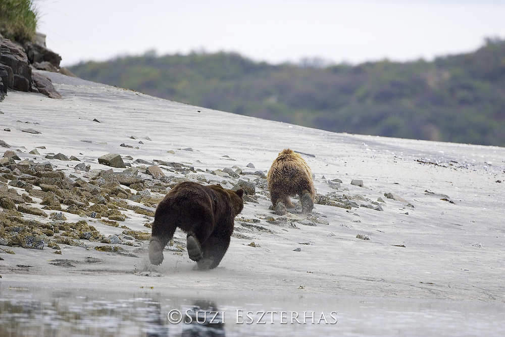 Alaskan Brown Bear<br /> Ursus arctos middendorffi<br /> Female chased by male at water's edge during mating season<br /> Katmai National Park, AK