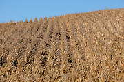 An Iowa corn field in early autumn. The image shows rows of corn on an Iowa farm, ready for harvest. Corn is a major money producer for Iowa farmers.