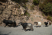 Corsican goat, primarily used for the production of milk on 15th September 2017 in Ota, Corsica, France. The Corsican goat, A Capra corsa, has been on the island for thousands of years and now accounts for almost all of the region's goat population, more than 45,000 animals. The Corsican goat is a dairy animal characterized by its hardiness, adaptability to the climate and island environment, and its ability to thrive in the brush. Its long hair provides protection from thorns while robust limbs and powerful hooves enable these goats to move easily on difficult terrain.