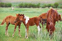 Mongolie, Province de l'Arkhangai, chevaux dans les paturages // Mongolia, Arkhangai province, horses
