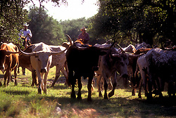 men herding a group of longhorn cattle