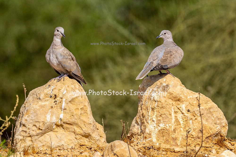 Collared Dove (Streptopelia decaocto) Photographed in Israel in September