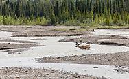 Caribou (Rangifer tarandus) fording Teklanika River in Denali National Park in Interior Alaska. Summer. Afternoon.