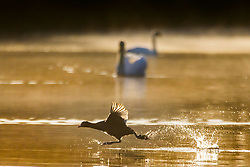 © Licensed to London News Pictures. 14/04/2020. Leeds UK. A bird skips across the lake as the sun rises at Golden Acre park in Leeds this morning. Photo credit: Andrew McCaren/LNP
