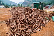 cassava root (Manihot esculenta) AKA Brazilian arrowroot, manioc and tapioca. It is extensively cultivated as an annual crop in tropical and subtropical regions for its edible starchy tuberous root, a major source of carbohydrates. Photographed in Vietnam