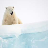 Polar bear on iceberg on Baffin Island, Nunavut, Canada, peering over the edge.