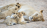 Lioness with paw over resting cub, and three more nursing, Panthera leo, in a sandy riverbed.