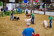 21 JULY 2020 - COLFAX, IOWA: Swine judging at the Jasper County Fair in Colfax, about 30 miles east of Des Moines. Summer is county fair season in Iowa. Most of Iowa's 99 counties host their county fairs before the Iowa State Fair. In 2020, because of the COVID-19 (Coronavirus) pandemic, many county fairs were cancelled, or scaled back to concentrate on 4H livestock judging. The Iowa State Fair was cancelled completely. The Jasper County Fair cancelled most events and focused on just the 4H contests. Tuesday were the swine contests.            PHOTO BY JACK KURTZ