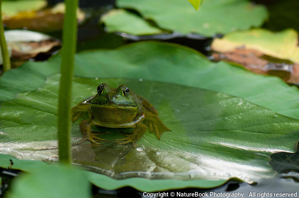 A green bull frog resting on a lily pad in a private garden.  If you look carefully, you can see the frog's reflection on the lily pad.