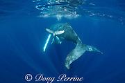 humpback whale calf, Megaptera novaeangliae, dives under mother, near Nomuka Island, Ha'apai group, Kingdom of Tonga, South Pacific