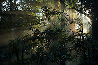 Morning light in the rain forest.  Halmahera, Indonesia.