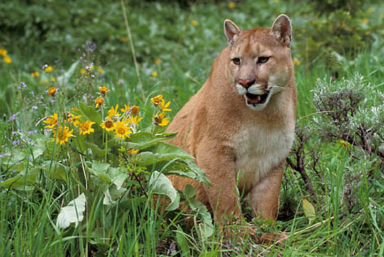Mountain Lion or Cougar, (Felis concolor) Adult in foothills of Rocky mountains. Montana. Summer.  Captive Animal.