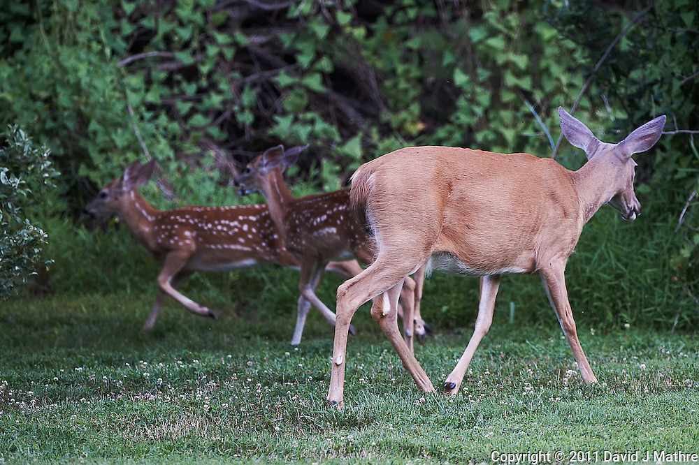 Doe Moving Fawns. Outdoor Nature in New Jersey. Image taken with a Nikon D3s and 500 mm f/4 VR lens (ISO 1600, 500 mm, f/4, 1/400 sec). Image processed with Capture One Pro 6, Nik Define, and Photoshop CS5.