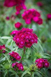 Dianthus barbatus F1 Dash Violet. Sweet William