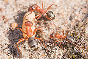 Blood-red slave making ants (Formica sanguinea) raiding another ant nest. Surrey, UK.