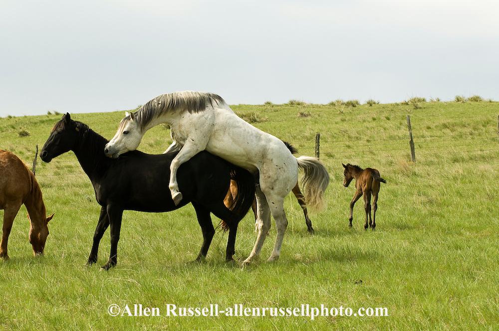 Quarter Horses, stallion breeding mare, natural breeding, pasture breeding<br /> PROPERTY RELEASED