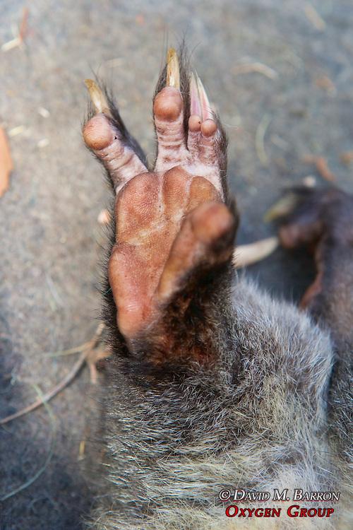 Foot Of Mountain Brushtail Possum