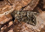 Close-up of a Straw underwing moth (Thalpophila matura) resting on pine bark in a Norfolk garden in summer
